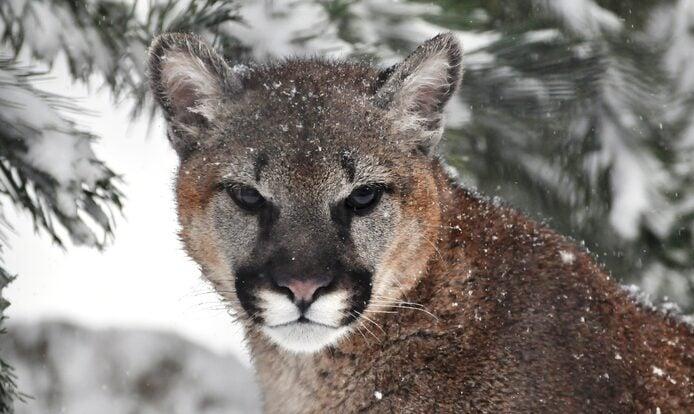 Cougar Mountain Zoo Discount Tickets for Zoo & Lemur Encounter