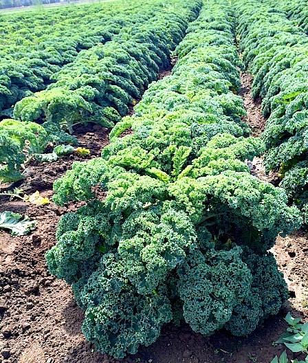 Kale at Carpinito Farms