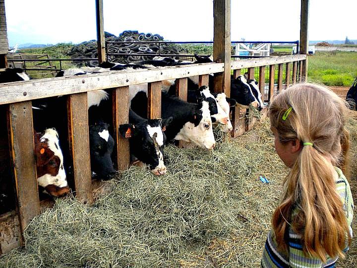 Skagit Valley Farm Tour Watching Cows