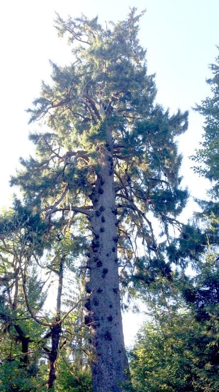 World's Largest Sitka Spruce Tree