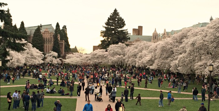 Cherry Blossom Viewing at University of Washington