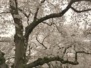 Cherry Blossom Trees at University of Washington