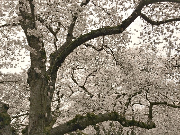 Cherry Blossom Trees at University of Washington