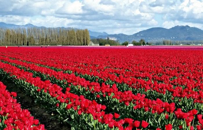 Mt Vernon Tulip Festival