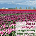 Skagit Valley Tulip Festival Tips on Visiting