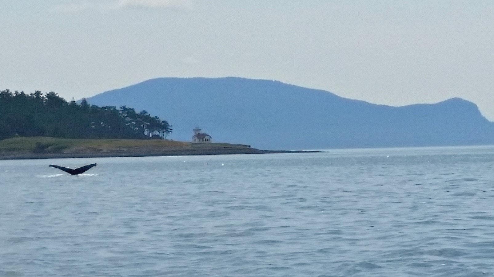 Whale Watching in San Juans Islands