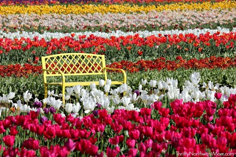 Tulip Festival In Woodburn Oregon