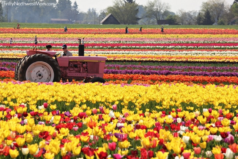 Woodburn Oregon Tulip Fields with tractor in distance