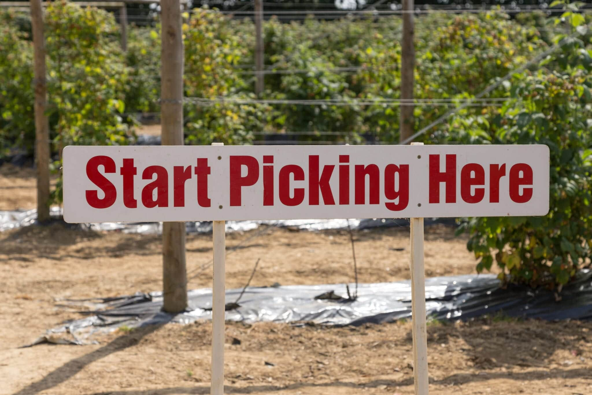 U Pick Berry Farms