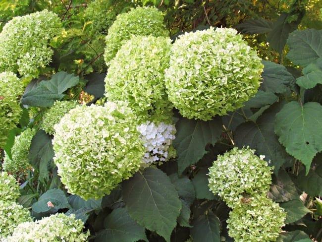 hydrangeas at Bellevue botanical garden