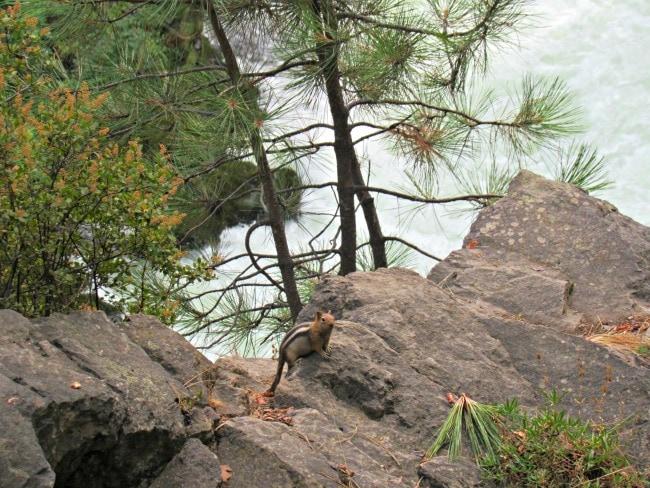 chipmunk in sunriver oregon