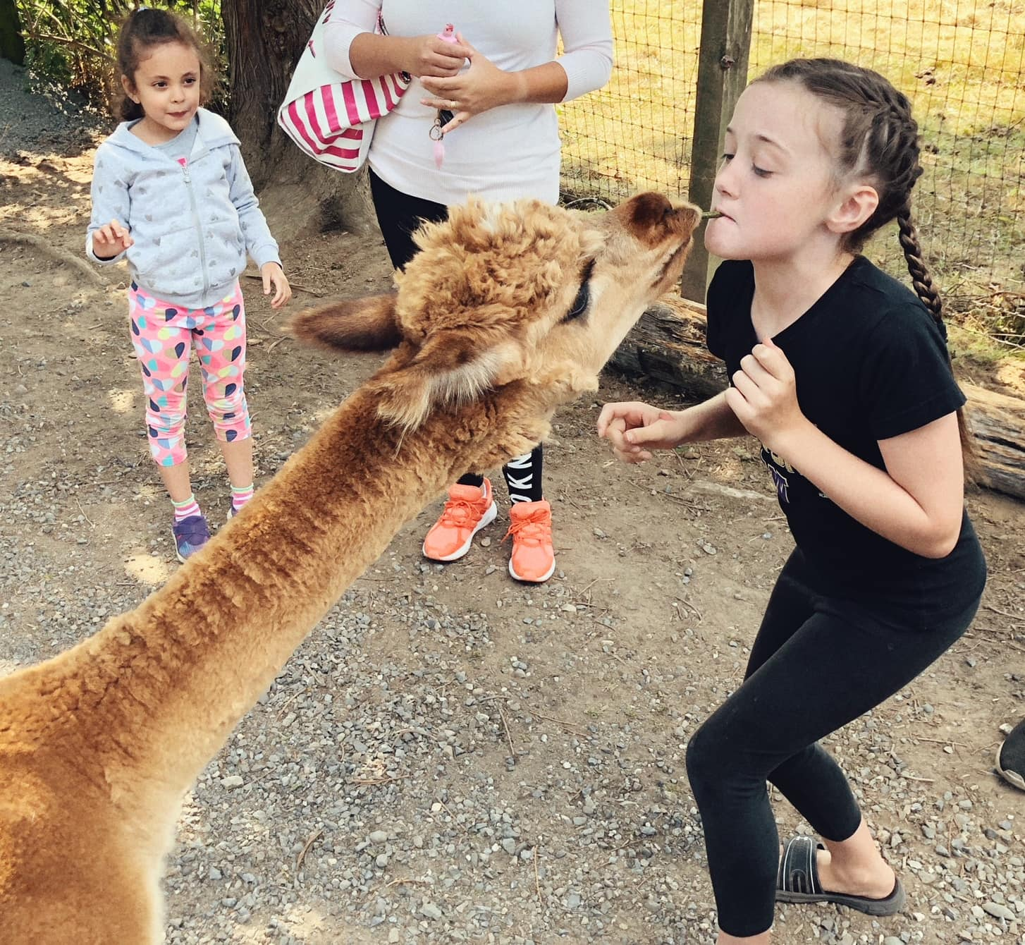 Alpaca Kisses