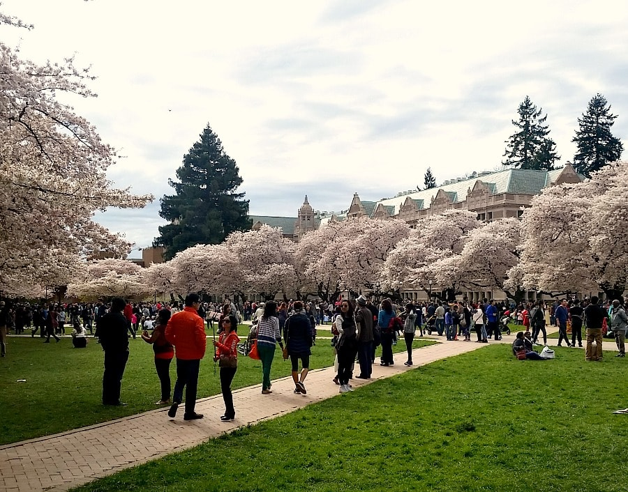 UW Cherry Blossoms in Spring