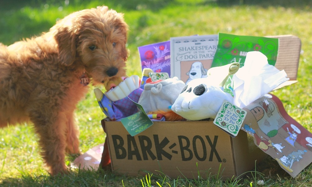 BarkBox Shakespeare Theme with Goldendoodle Puppy