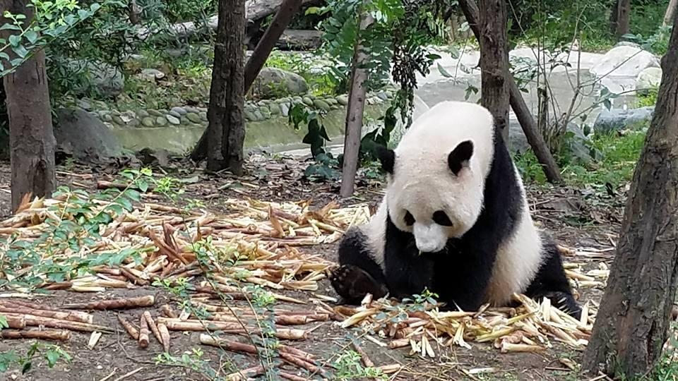 Panda in Chengdu China