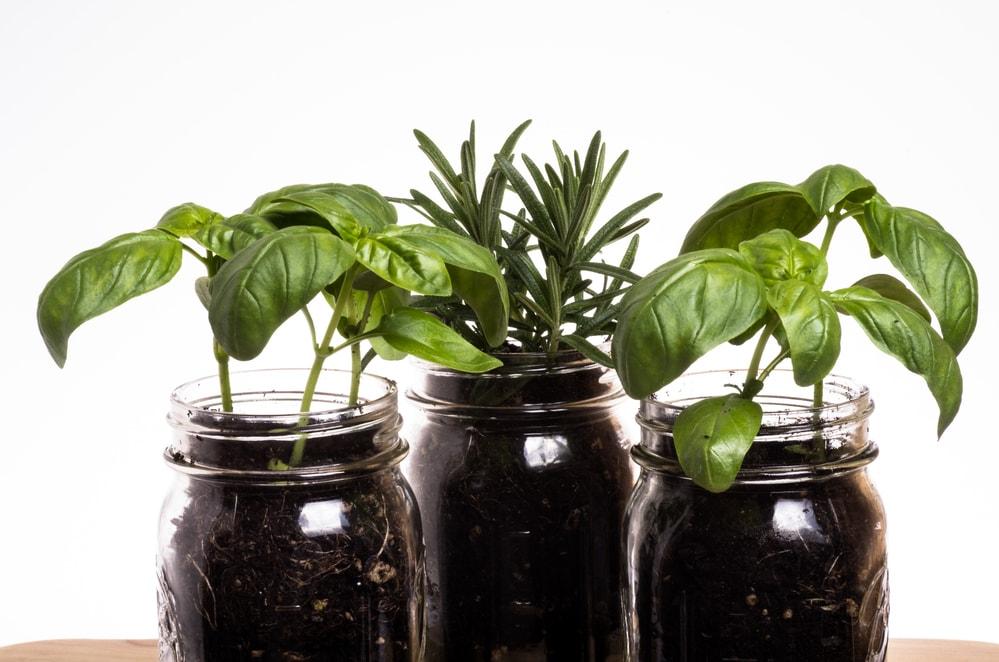 Mason Jars with Herb Plants