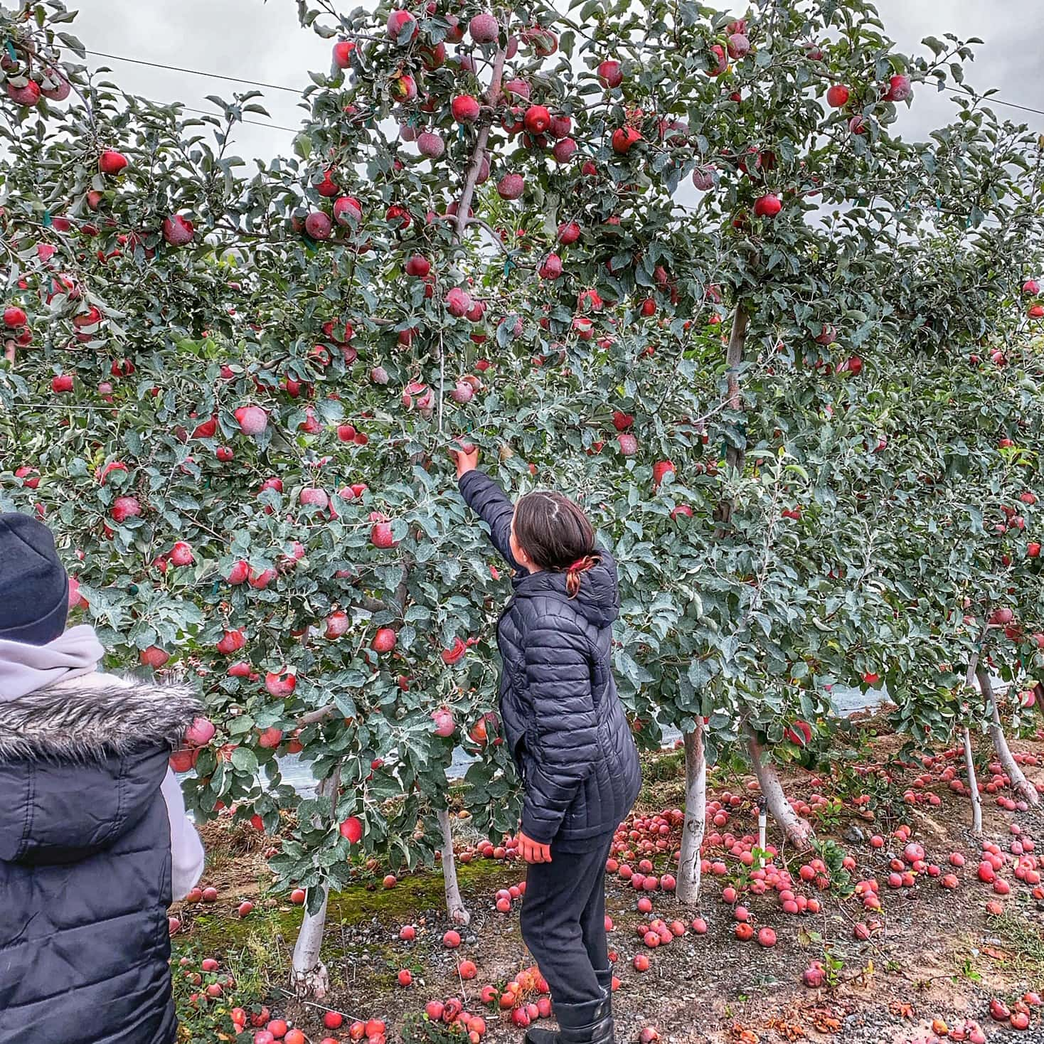 picking apples on orchard