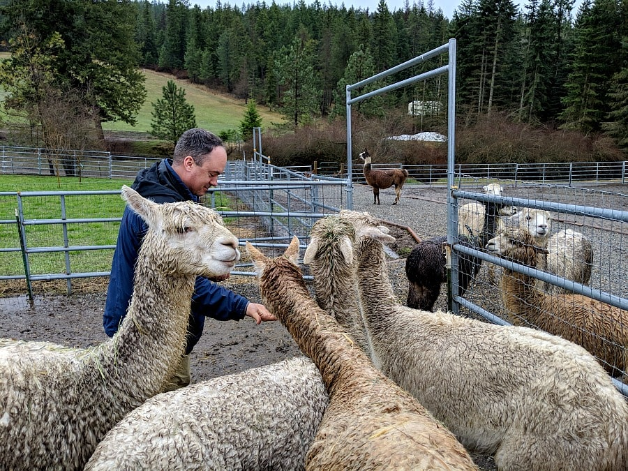 Alpaca Farm in Couer d Alene Idaho