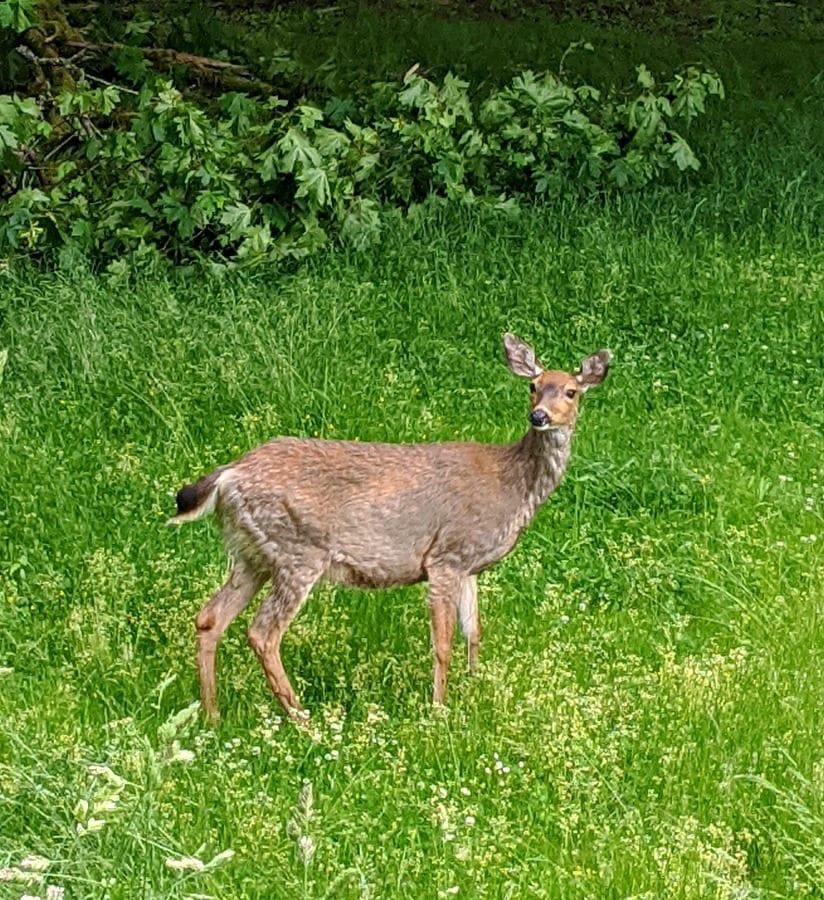 Deer at Point Defiance Park