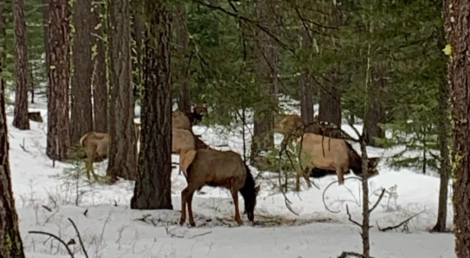 Elk at Suncadia