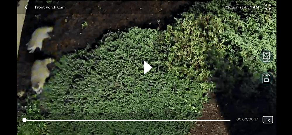 Raccoons on motion sensor camera (1)